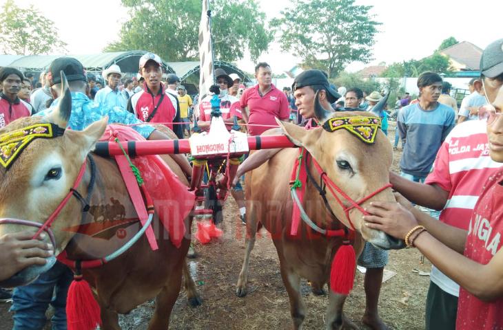 Dramatis!!! Kondisi Luka, Moncong Putih Sabet Juara Kerapan Sapi di Kota Bangkalan